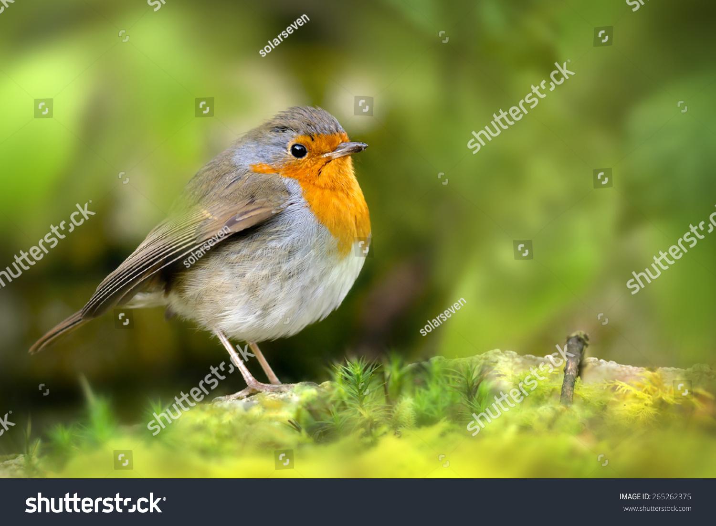 red robin bird on rock between stock photo edit now 265262375