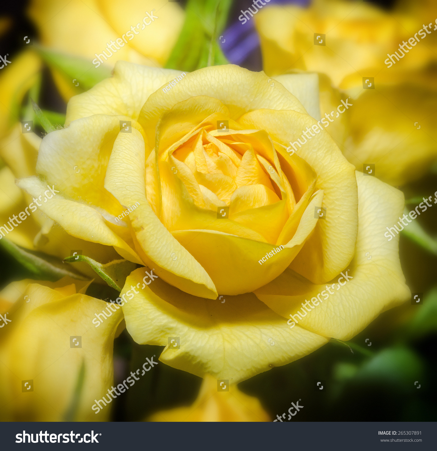 Close Up Of Yellow Rose Flower Ez Canvas