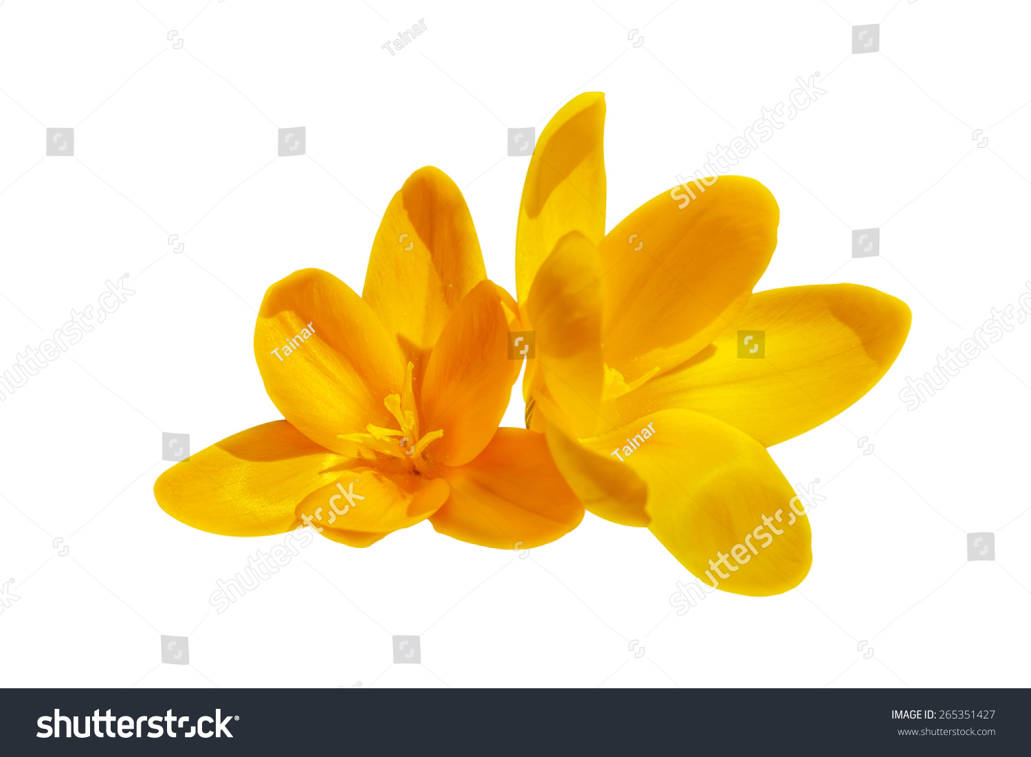 Two Yellow Crocus Flowers Isolated On The White Background Ez Canvas
