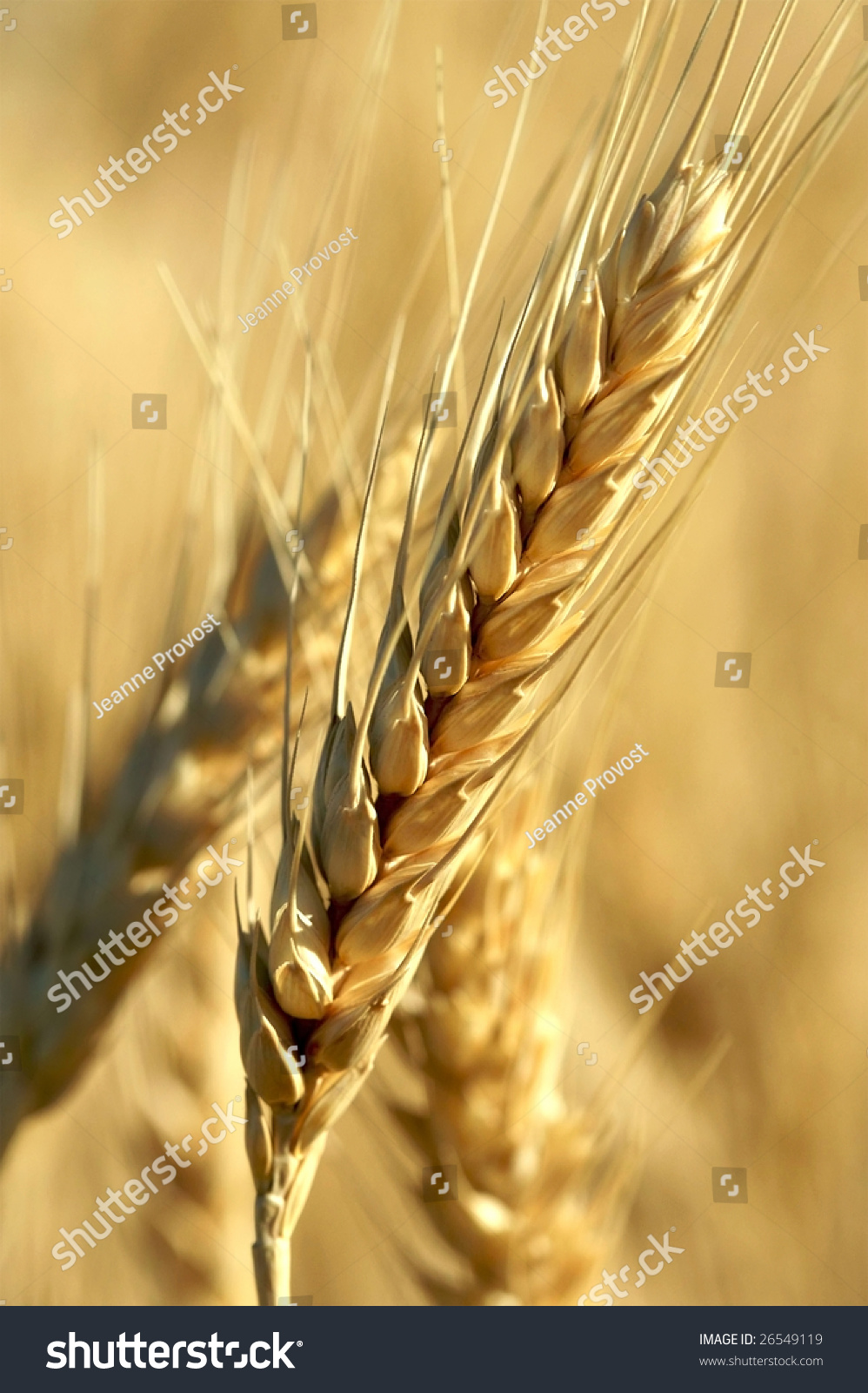 Single Stalk Of Wheat In Morning Light Stock Photo ...