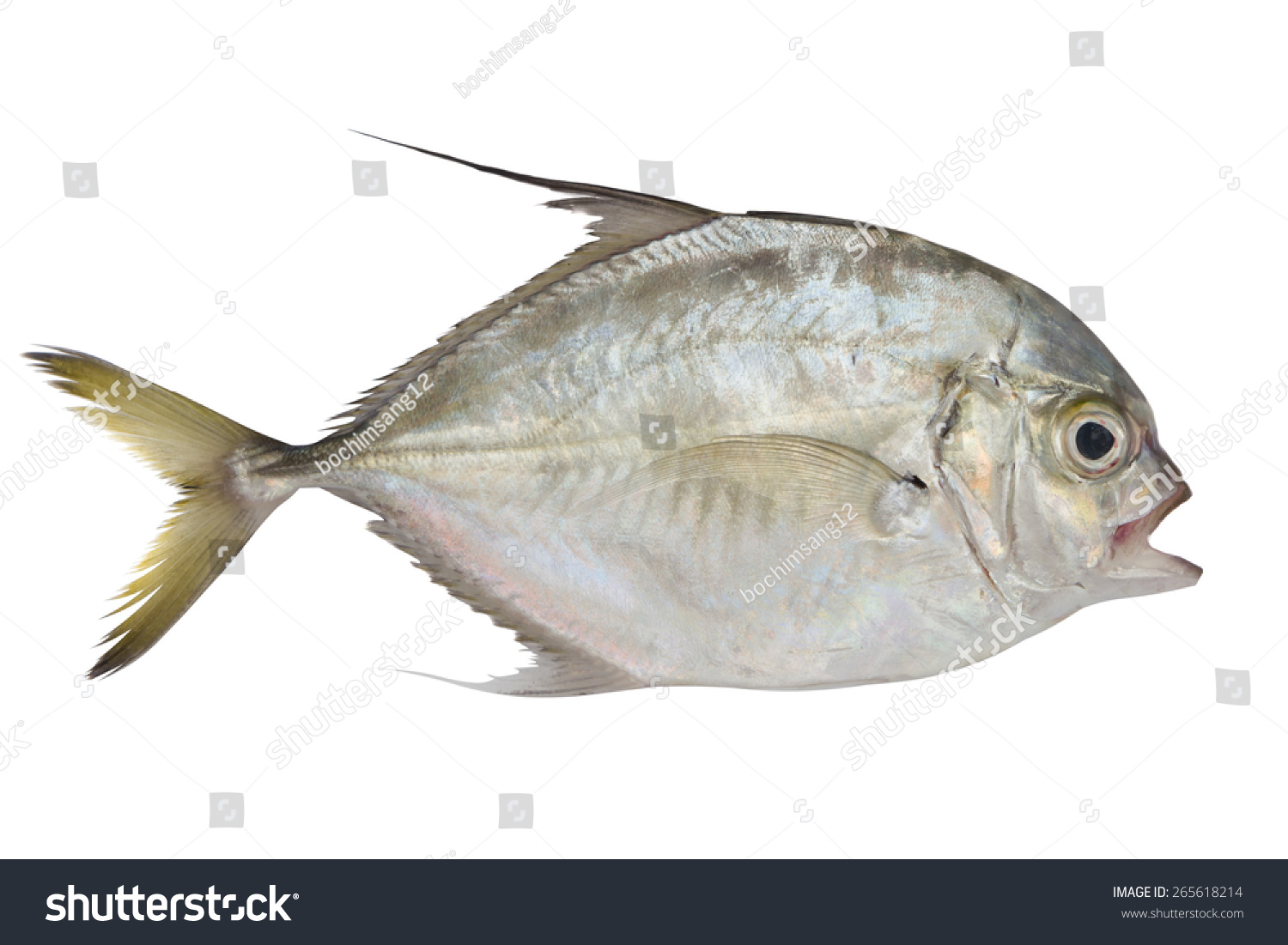 Pompano fish isolated on white background stock photo for Picture of pompano fish