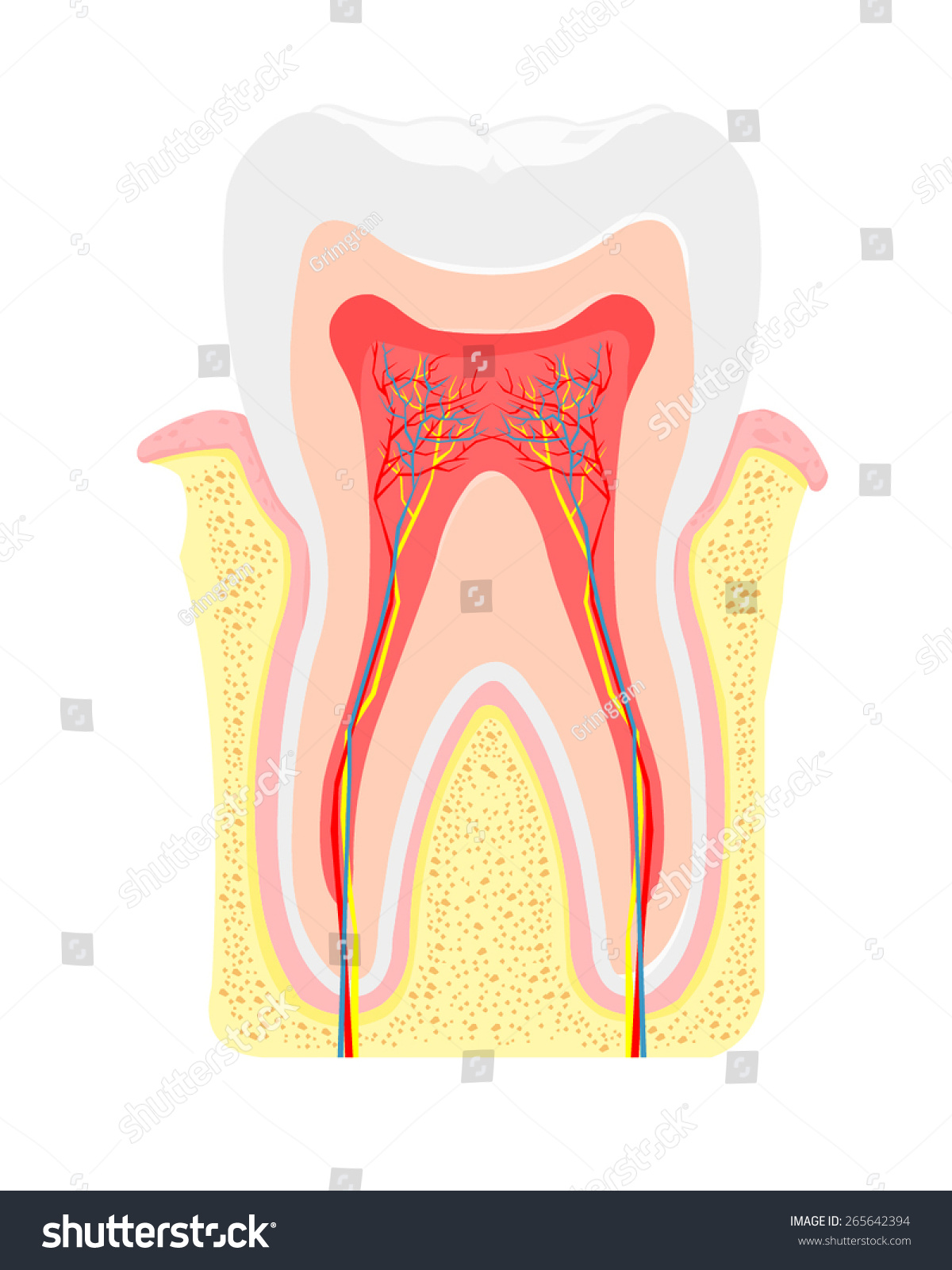 Vector Illustration Cross Section Tooth Gum Stock Vector 265642394 ...