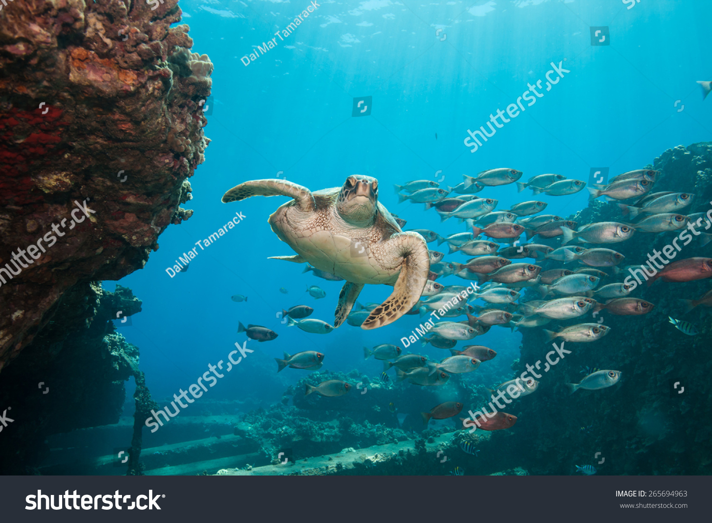 beautiful underwater scene sea turtle swims stock photo 265694963