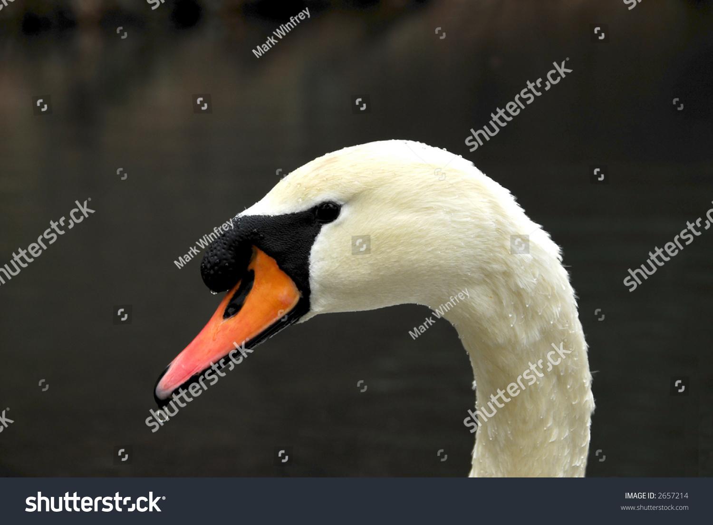 stock-photo-swan-portrait-2657214.jpg