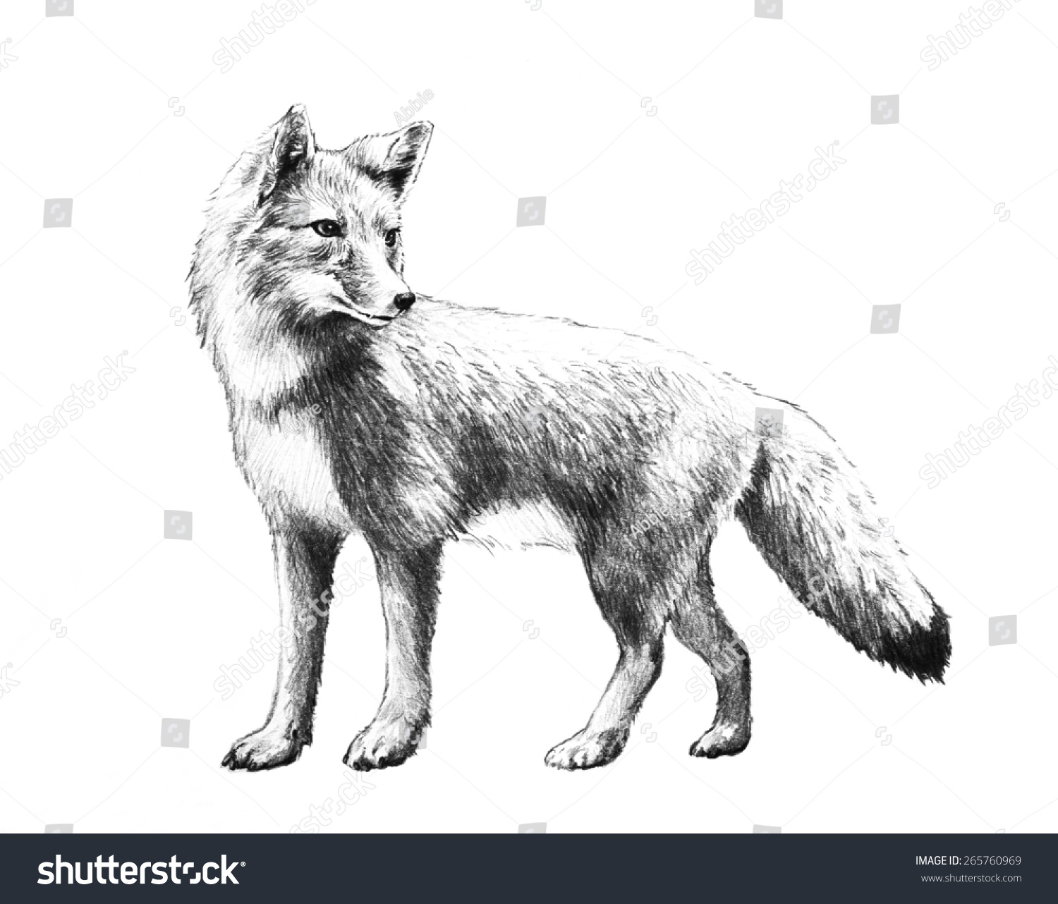 Red Fox Pencil Drawing