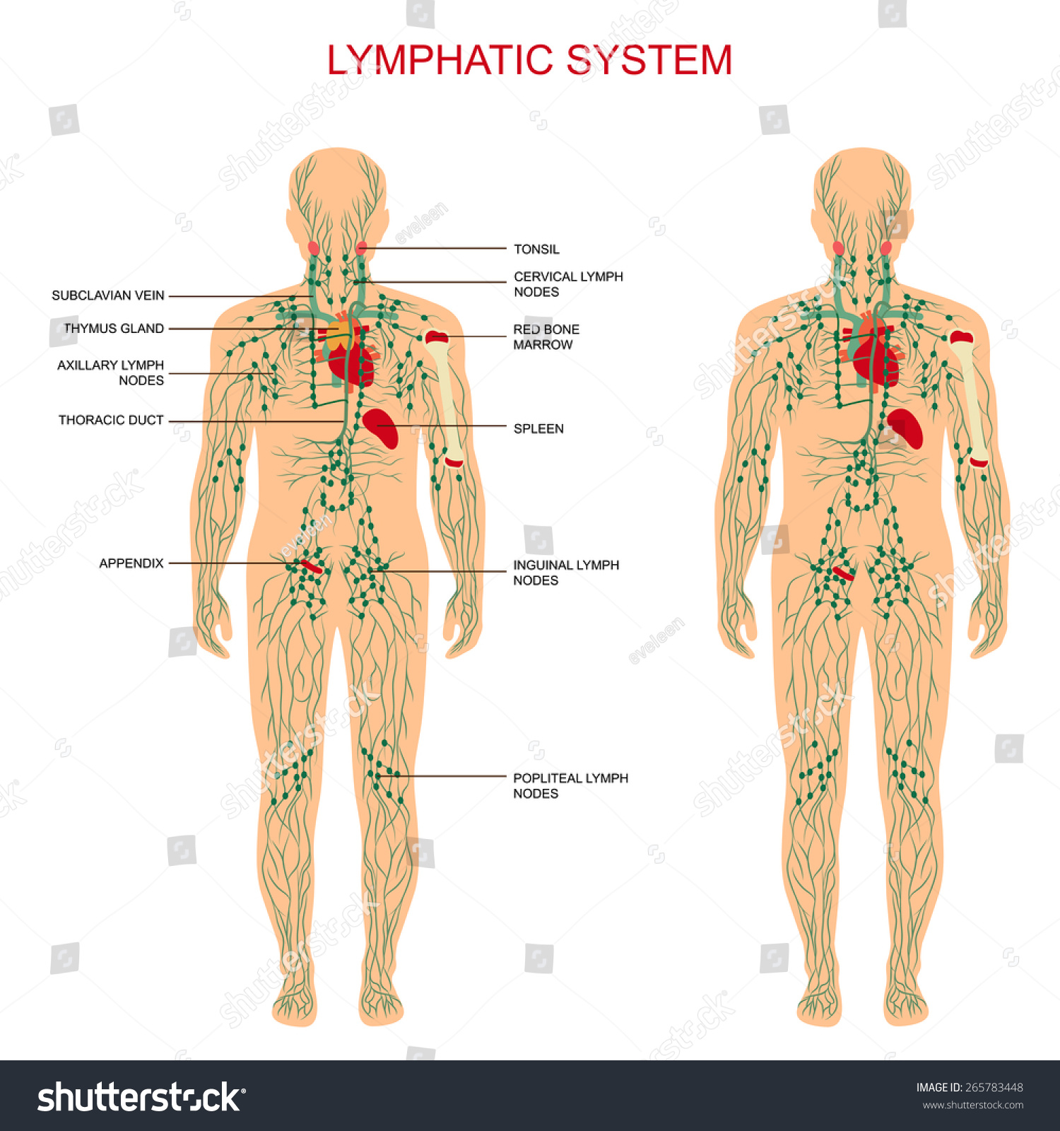 Human Anatomy Lymphatic System Medical Illustration Stock Vector