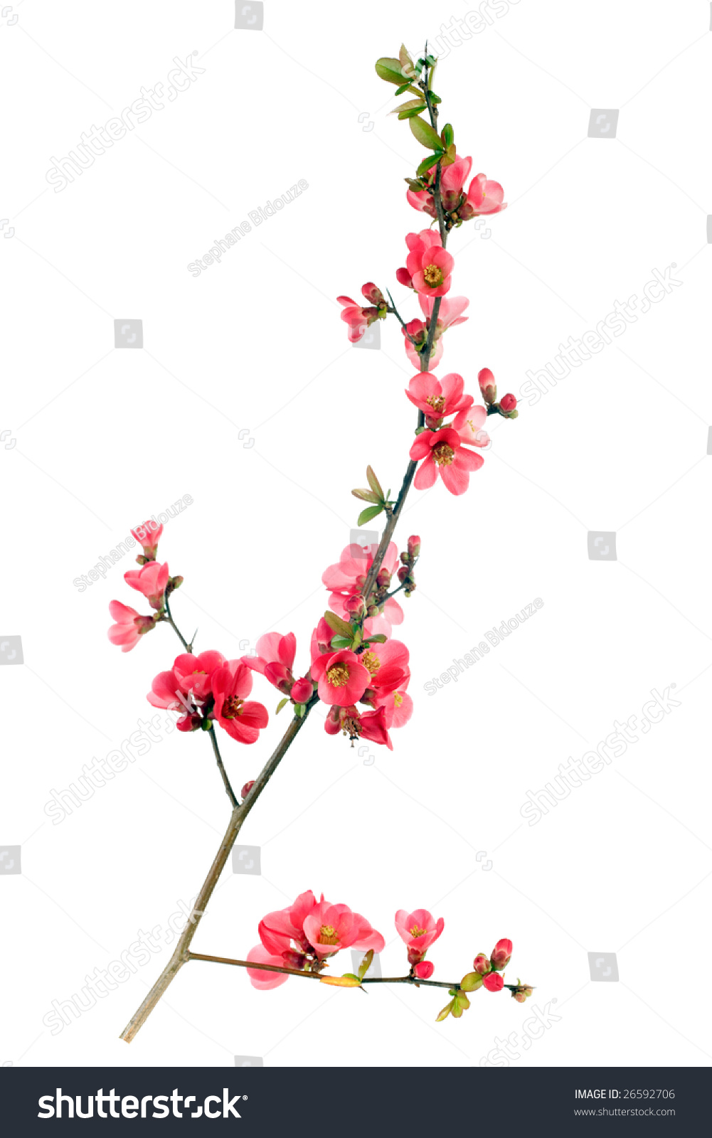 Branch japanese quince blossom springtime stock photo 26592706 branch of japanese quince blossom at springtime biocorpaavc Image collections