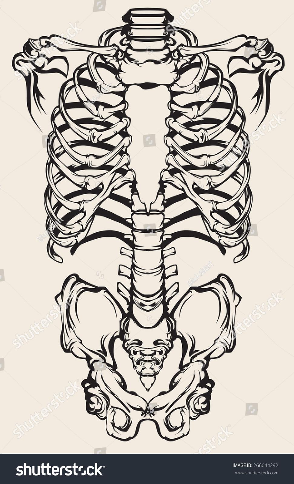 Detailed Anatomical Illustration Human Skeleton Stock Vector