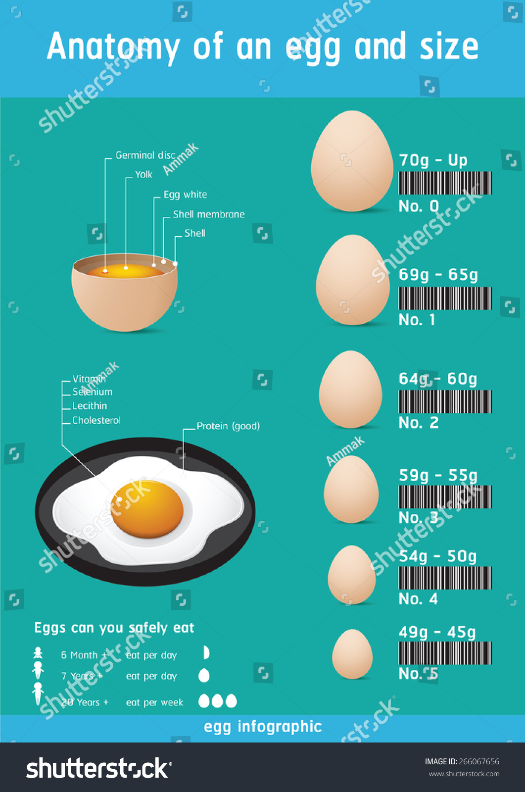 Food Infographic Anatomy Egg Size Stock Vector (Royalty Free ...