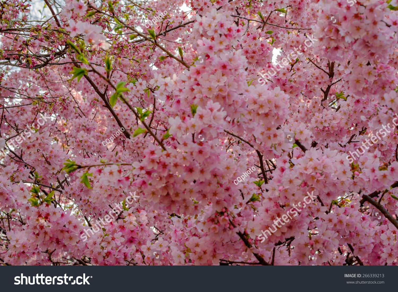 Background Wallpaper Pink Cherry Blossom Sakura Stock Photo Edit