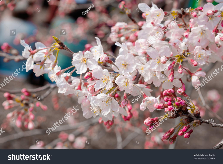 Background Wallpaper Of Cherry Blossom Sakura Flower In Garden