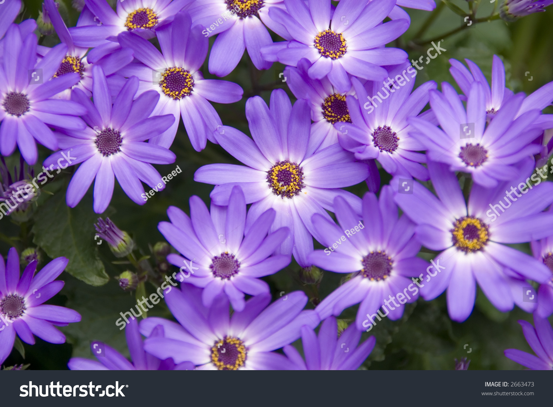 Purple Daisy Flower Background Stock Photo Edit Now 2663473
