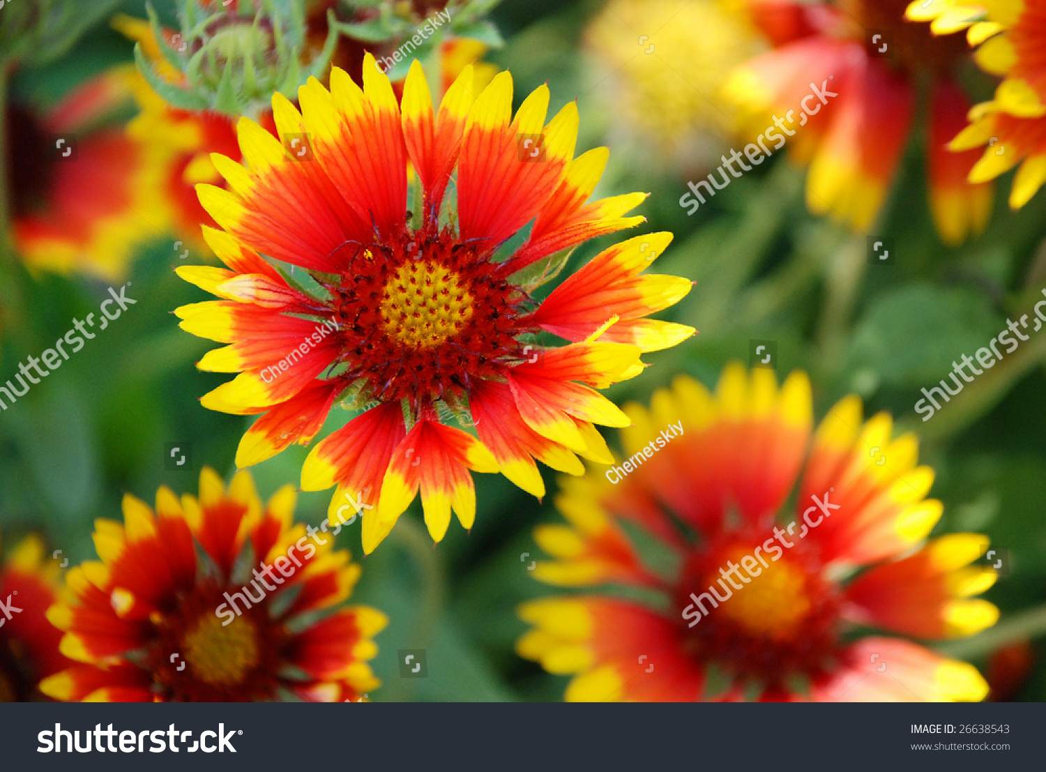Few Red Yellow Aster Flowers Other Stock Photo Edit Now 26638543