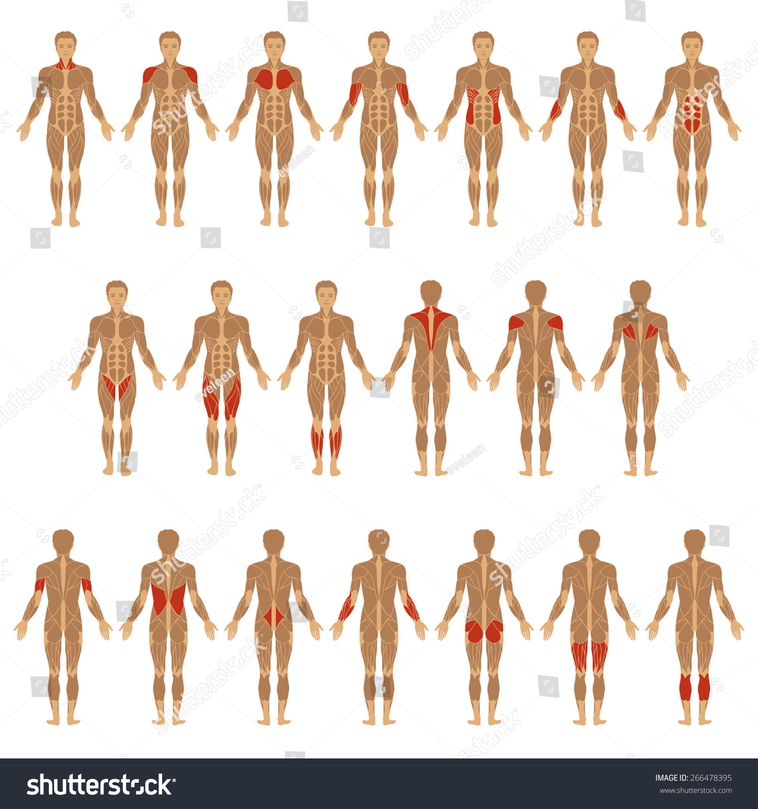 Vector Muscular Human Body Muscle Man Stock Vector 266478395 ...