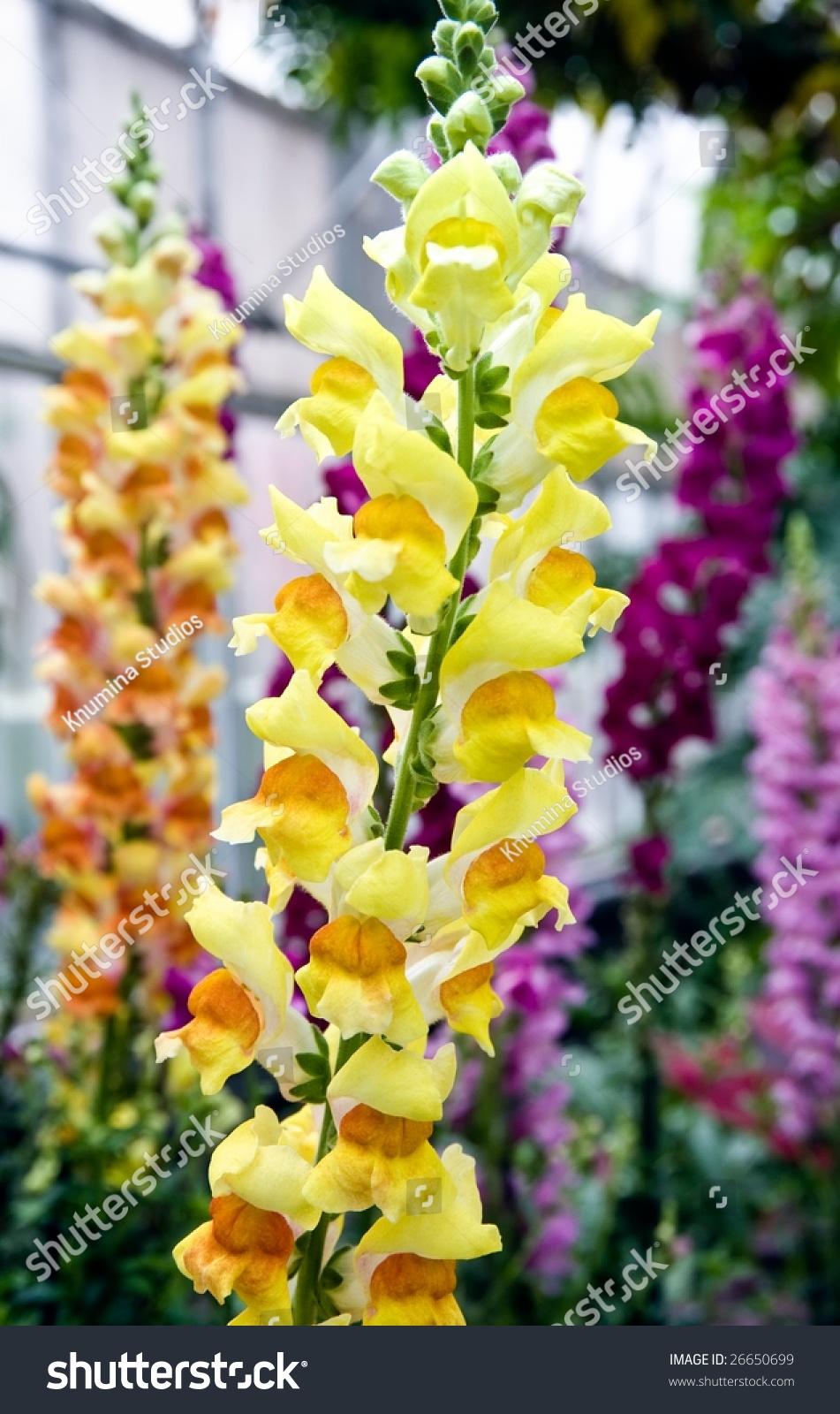 snap dragon flowers full bloom stock photo edit now 26650699