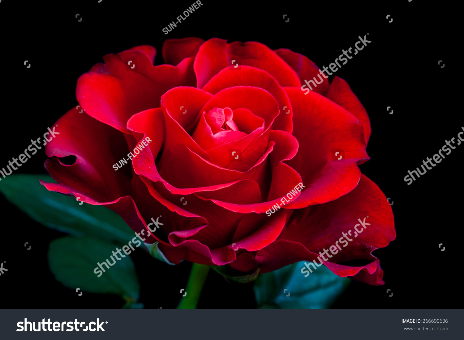 Amazing Rose Mysterious Red Flower On Stock Photo (Edit Now