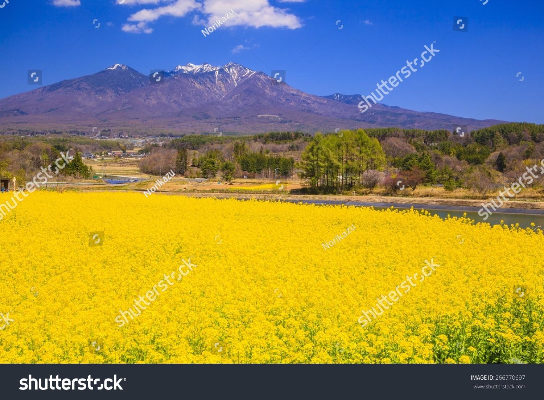 Rape Flowers And Mt Yatsugatake Yamanashi Japan Stock