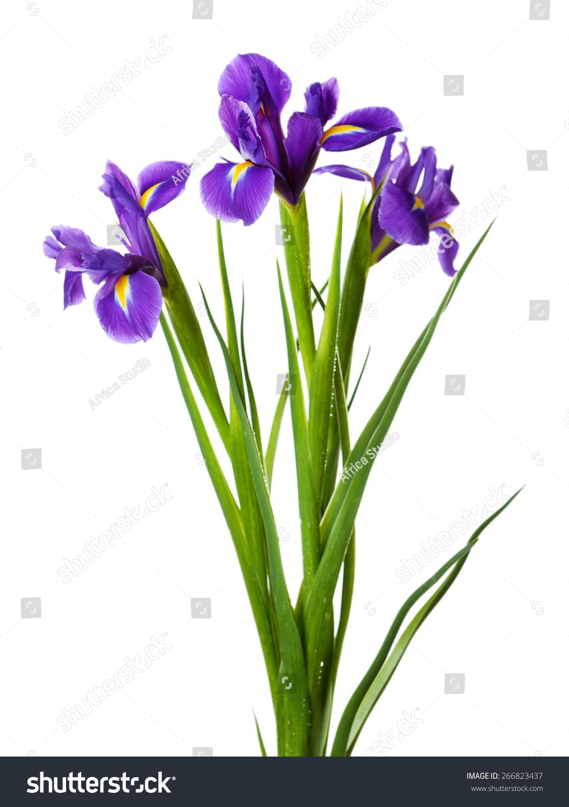 Iris flowers isolated on white stock photo royalty free 266823437 iris flowers isolated on white izmirmasajfo