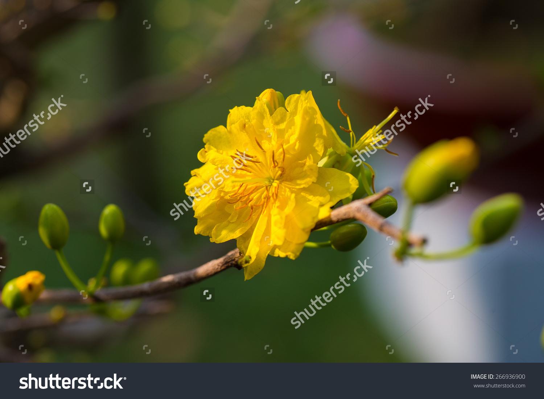 杏花朵在越南农历新年和春节假期。这是一个新