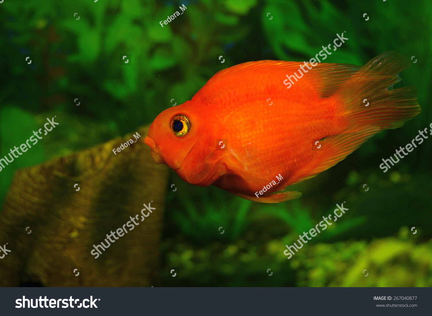 Aquarium fish - goldfish Carassius auratus | EZ Canvas