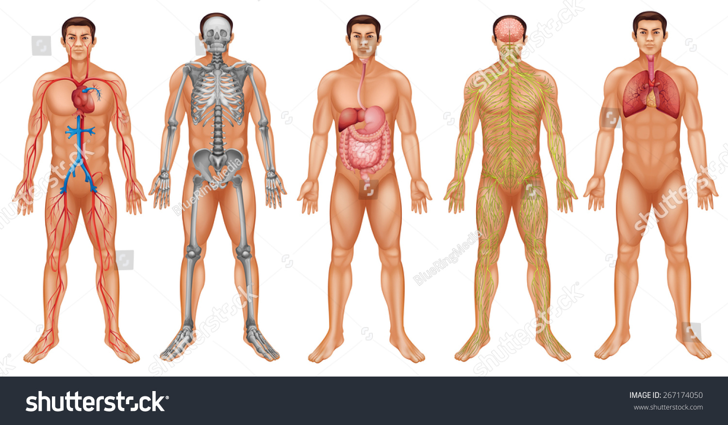 Chart Human Body System Stock Vector Royalty Free 267174050