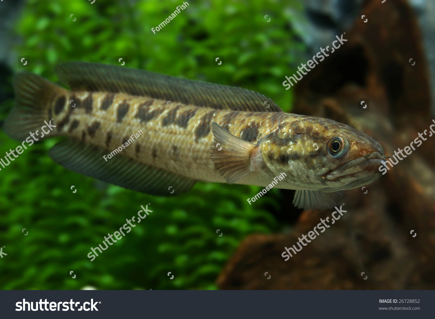 Channa Asiatica | Chinese Snakehead Channa Asiatica Stock Photo Royalty Free