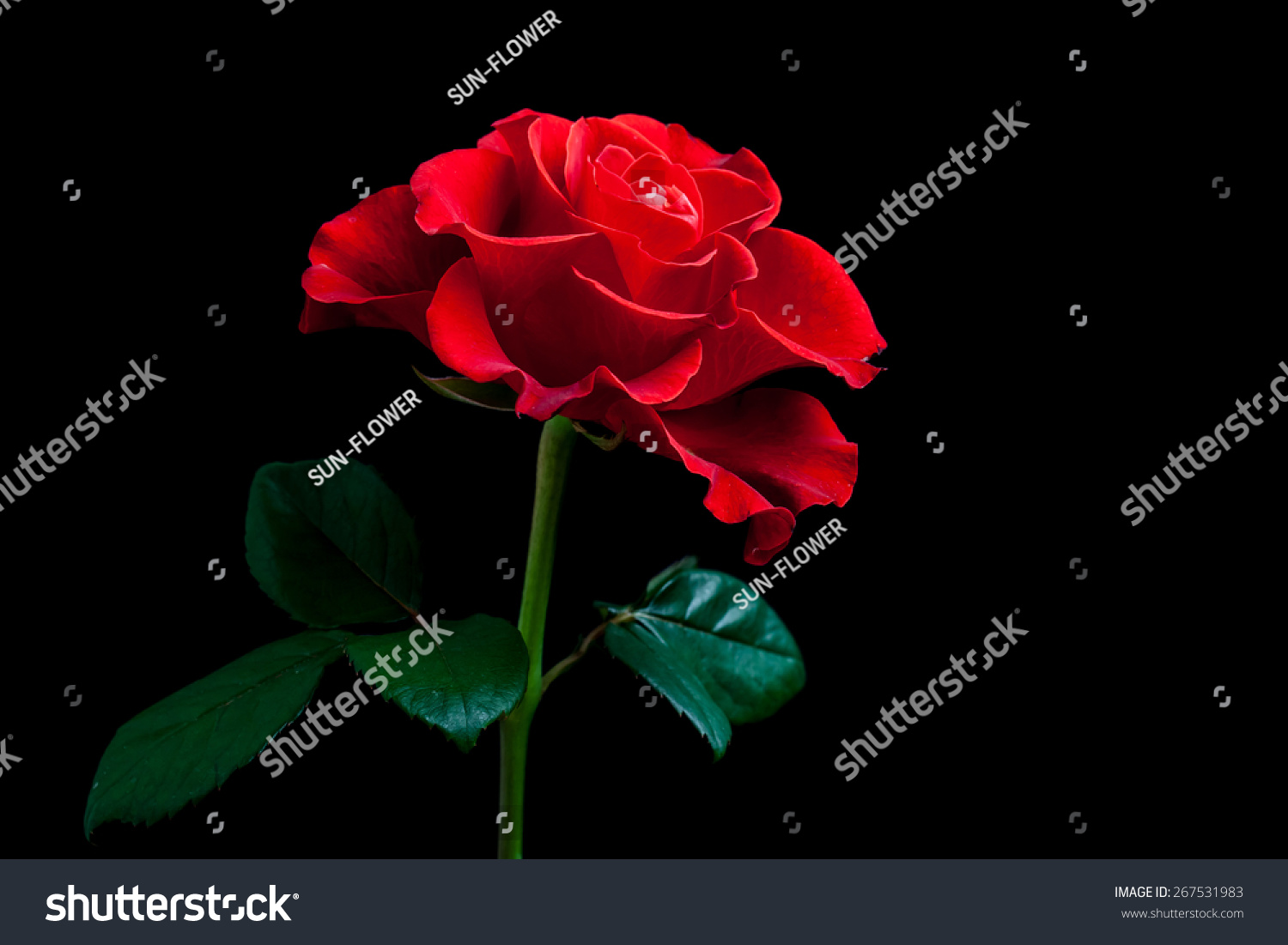 Beautiful Red Rose On Black Background Amazing Flower Wallpaper Image For Mobile Devices