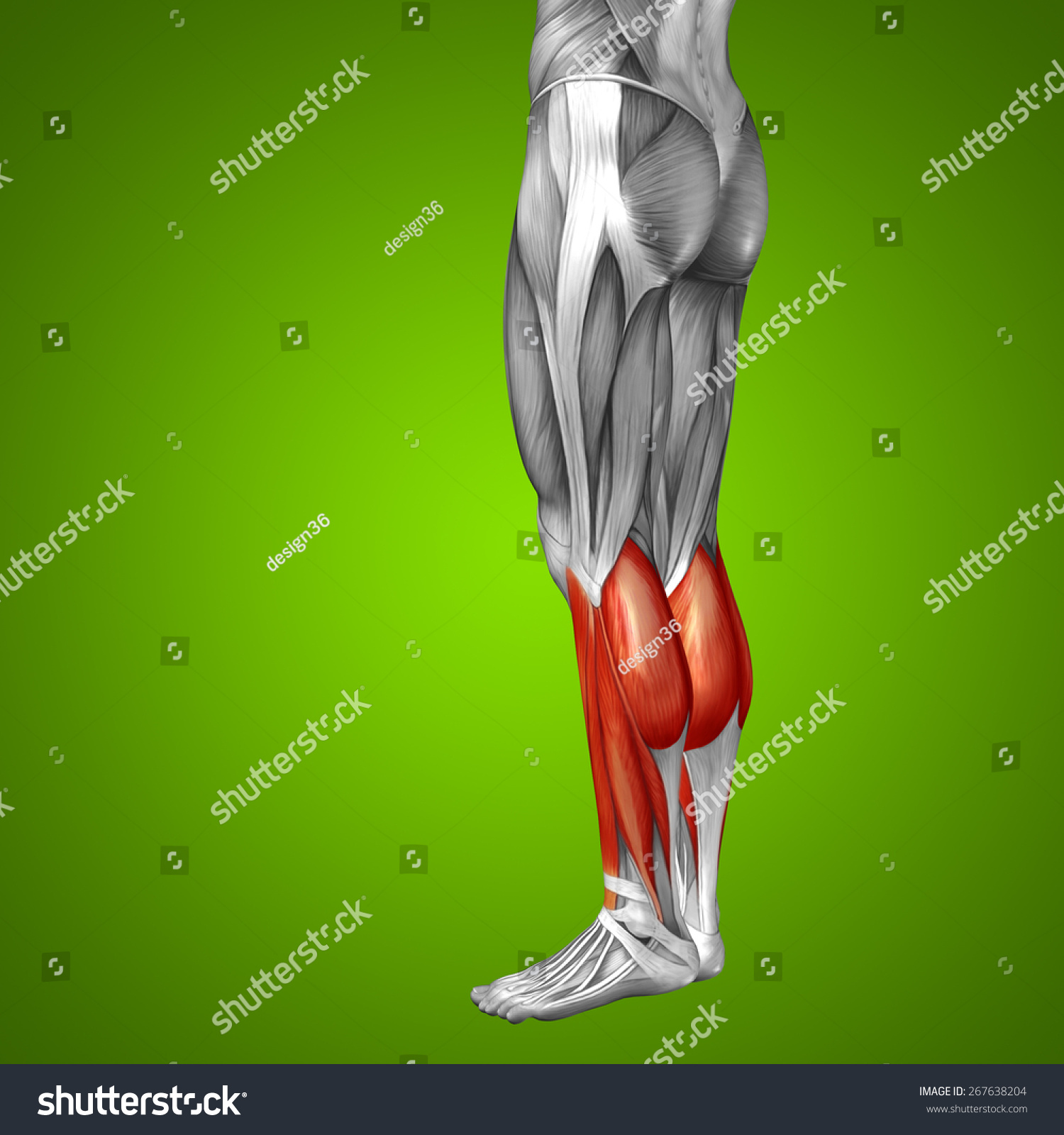 Fitness Biology: Conceptual 3d Gastrocnemius Lower Leg Human Stock