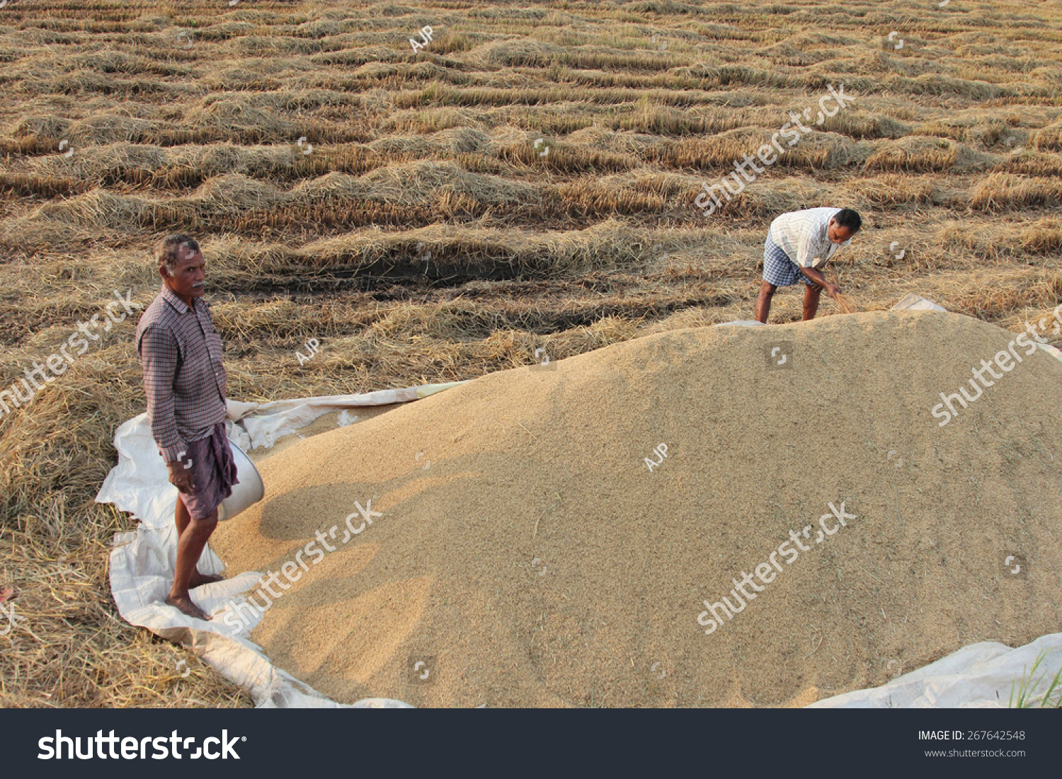 Alleppey India  city photos : ALLEPPEY, INDIA APR 03 : Unidentified farmers do the post harvest ...