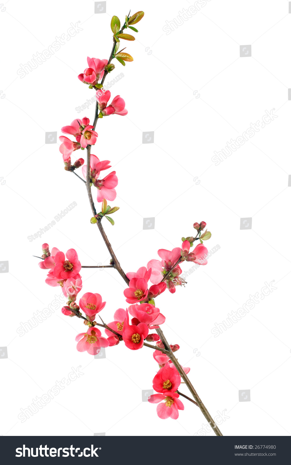 Elegant japanese quince branch blossom isolated stock photo elegant japanese quince branch blossom isolated on white biocorpaavc Image collections
