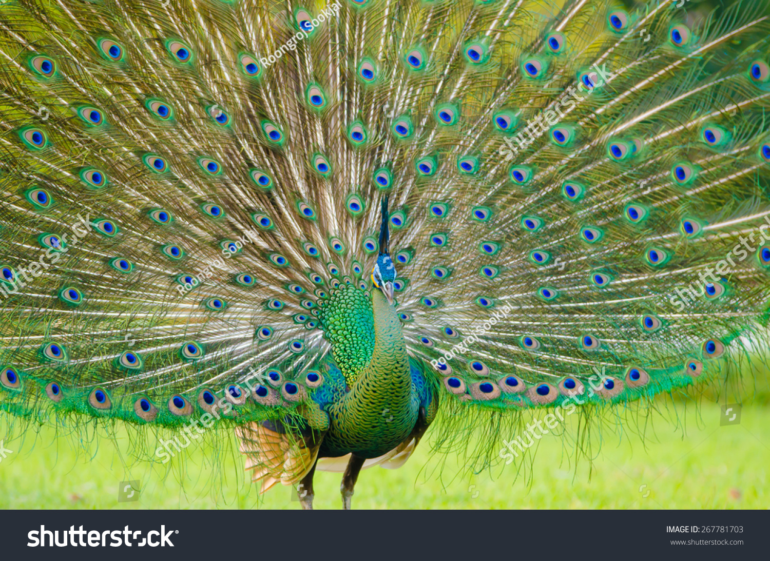 Portrait beautiful peacock feathers out stock photo 267781703 shutterstock - Beautiful peacock feather ...