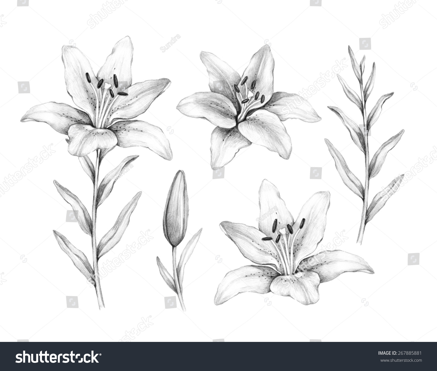 Pencil Drawing Lily Flower Stock Illustration 267885881 Shutterstock