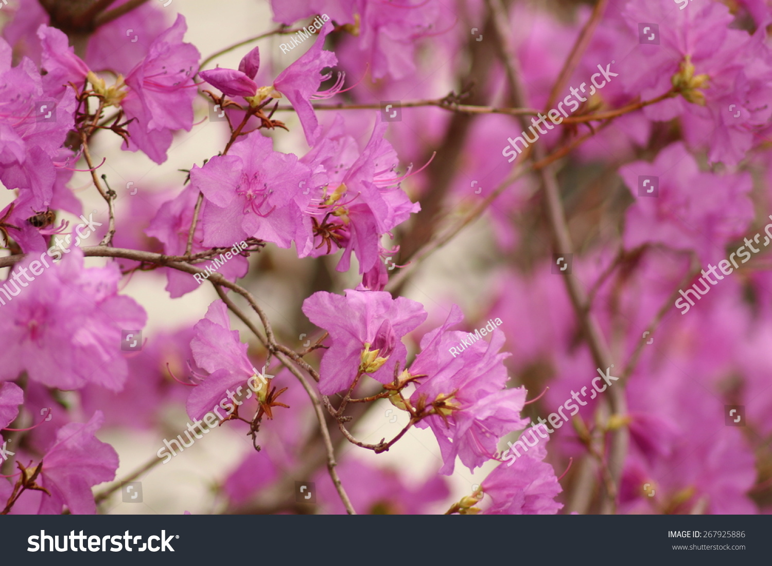 korean wheeldon pink flowers scientific name stock photo edit now