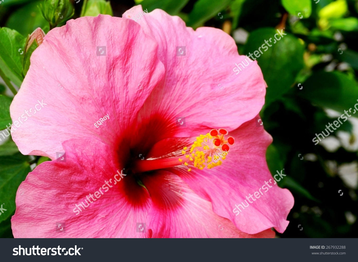 Pink Hibiscus Flower Red Center Red Stock Photo Edit Now 267932288
