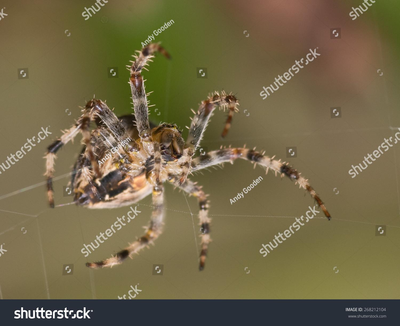 Garden Spider Araneus Diadematus On Web Stock Photo (Edit Now ...