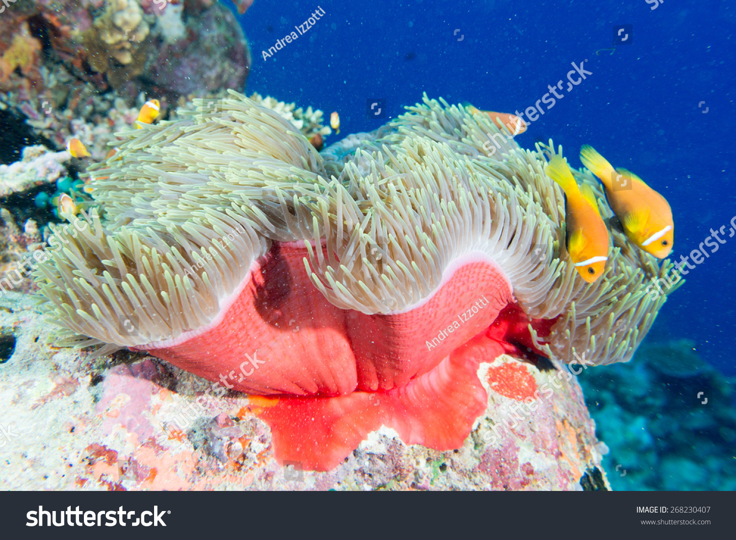 Clown Fish Family Inside Red Anemone Stock Photo 268230407 ...