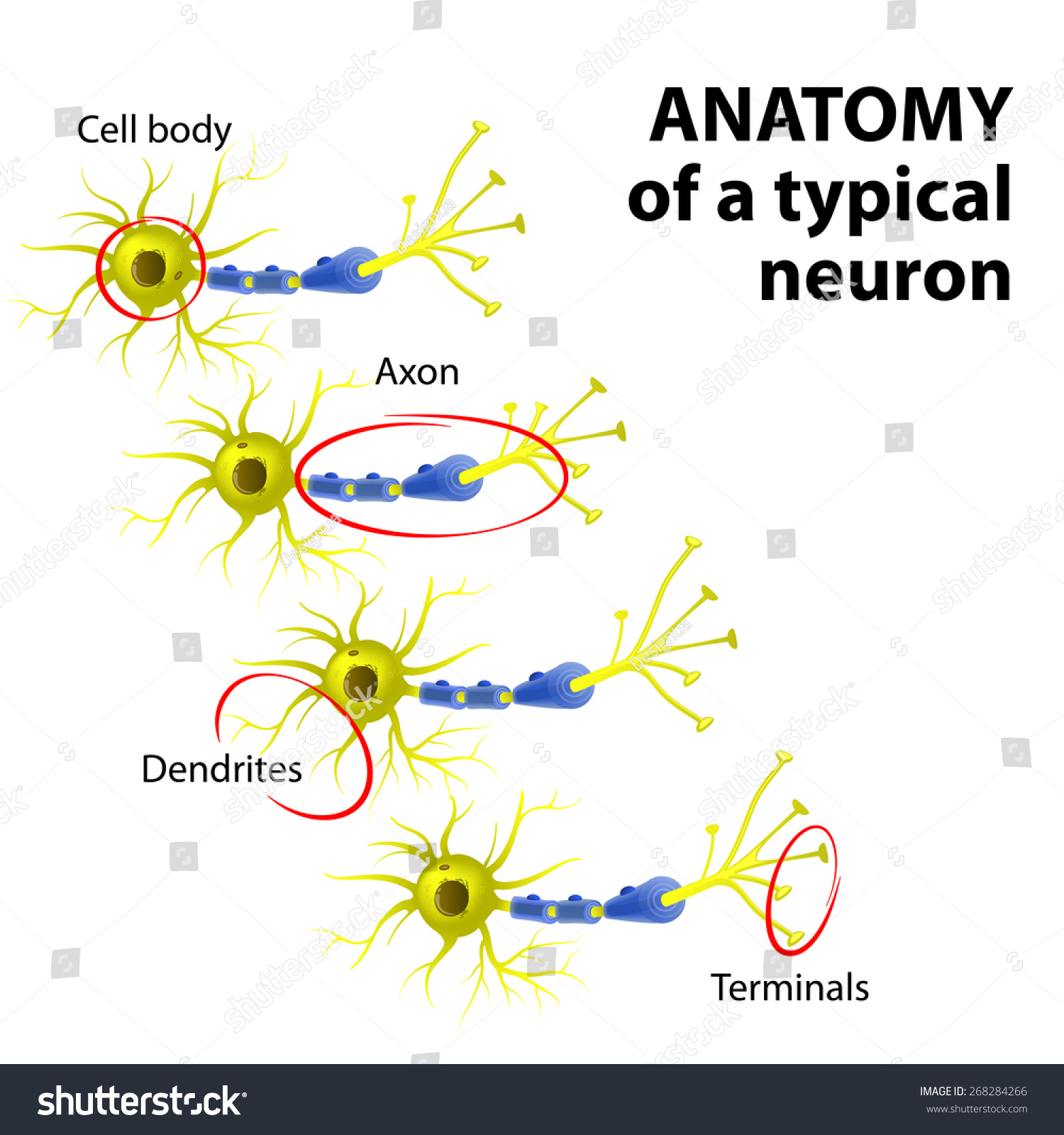 Anatomy Typical Multipolar Neuron Dendrite Cell Stock Illustration ...