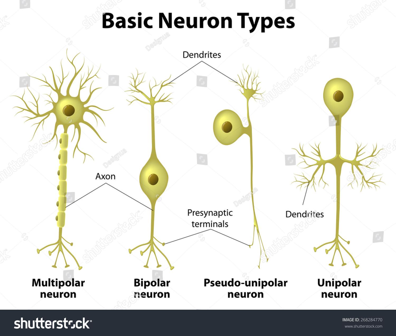 Bipolar sensory neuron diagram labeled explore schematic wiring basic neuron types unipolar pseudounipolar neuron stock illustration rh shutterstock com neuron parts and sensory neuron parts and sensory ccuart Images