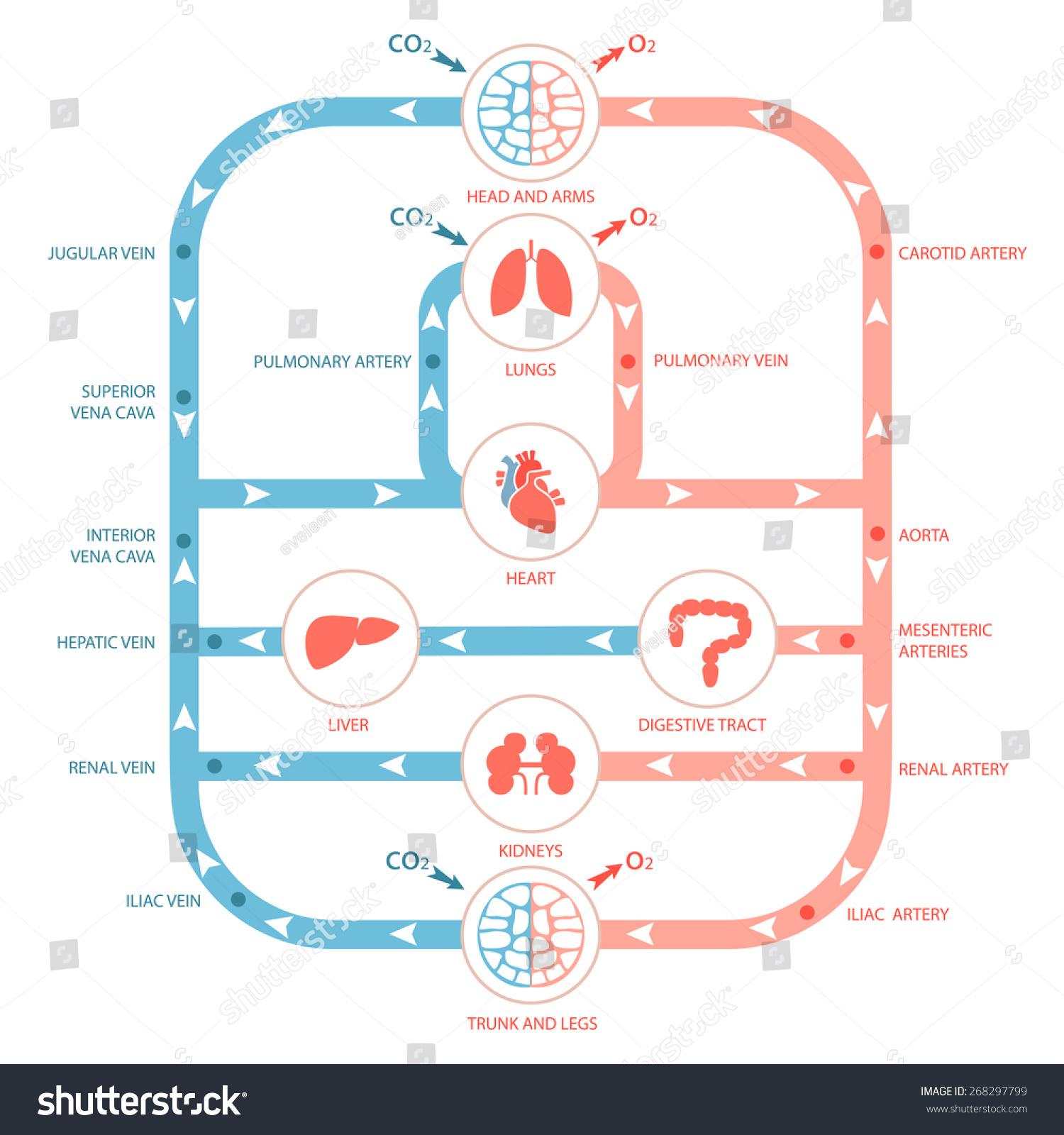 Heart Anatomy Circulatory System Human Blood Stock Vector Royalty