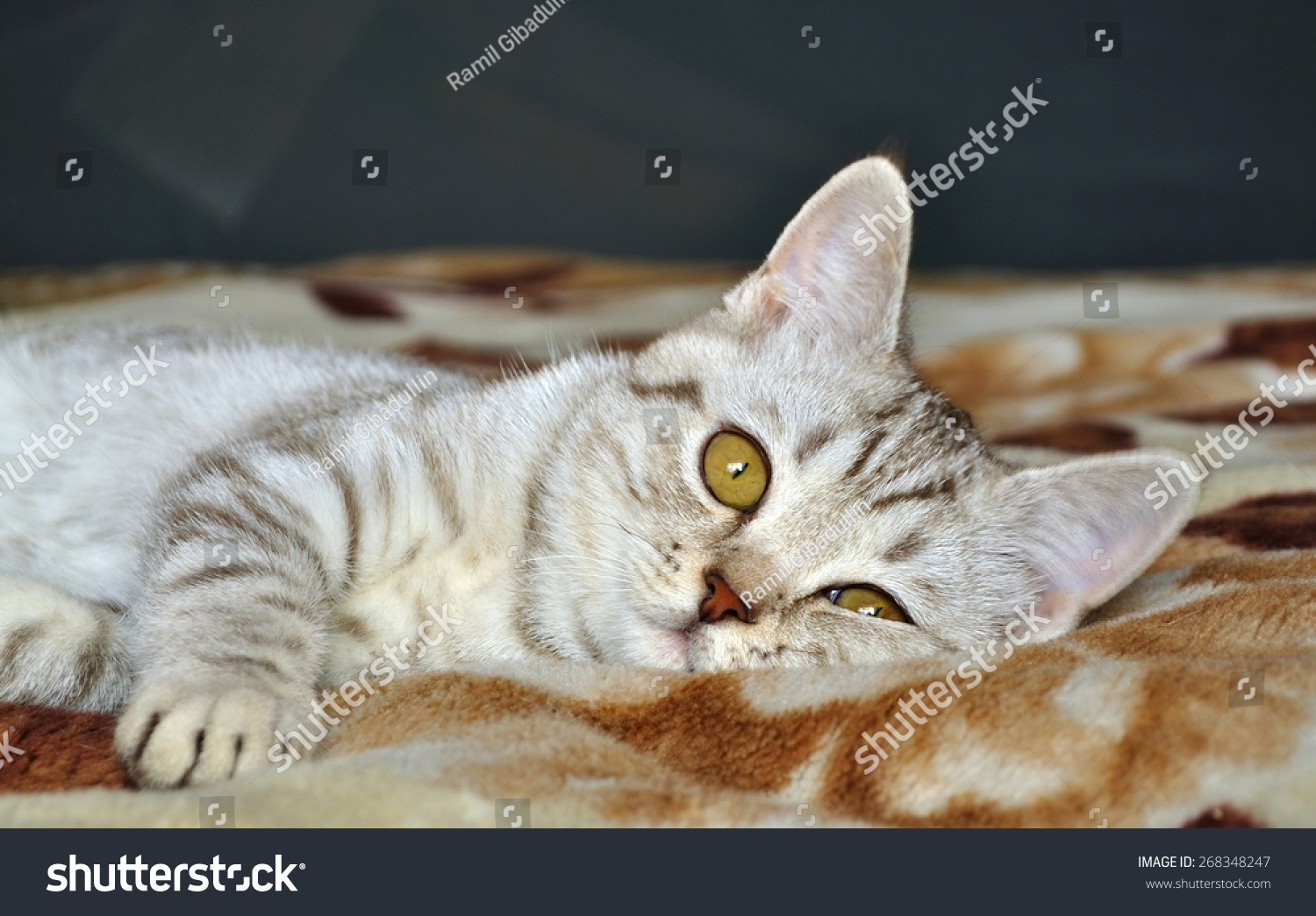 Scottish Tabby Cat Breed Lying Stock Shutterstock