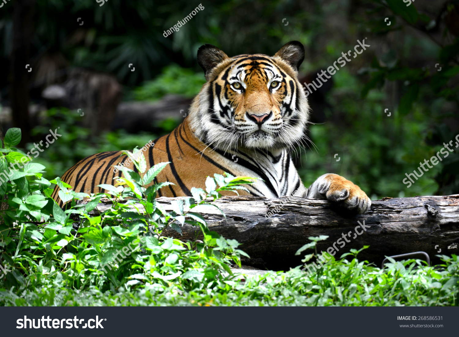 Bengal tiger forest show head leg stock photo 268586531 - Show me a picture of the tiger ...