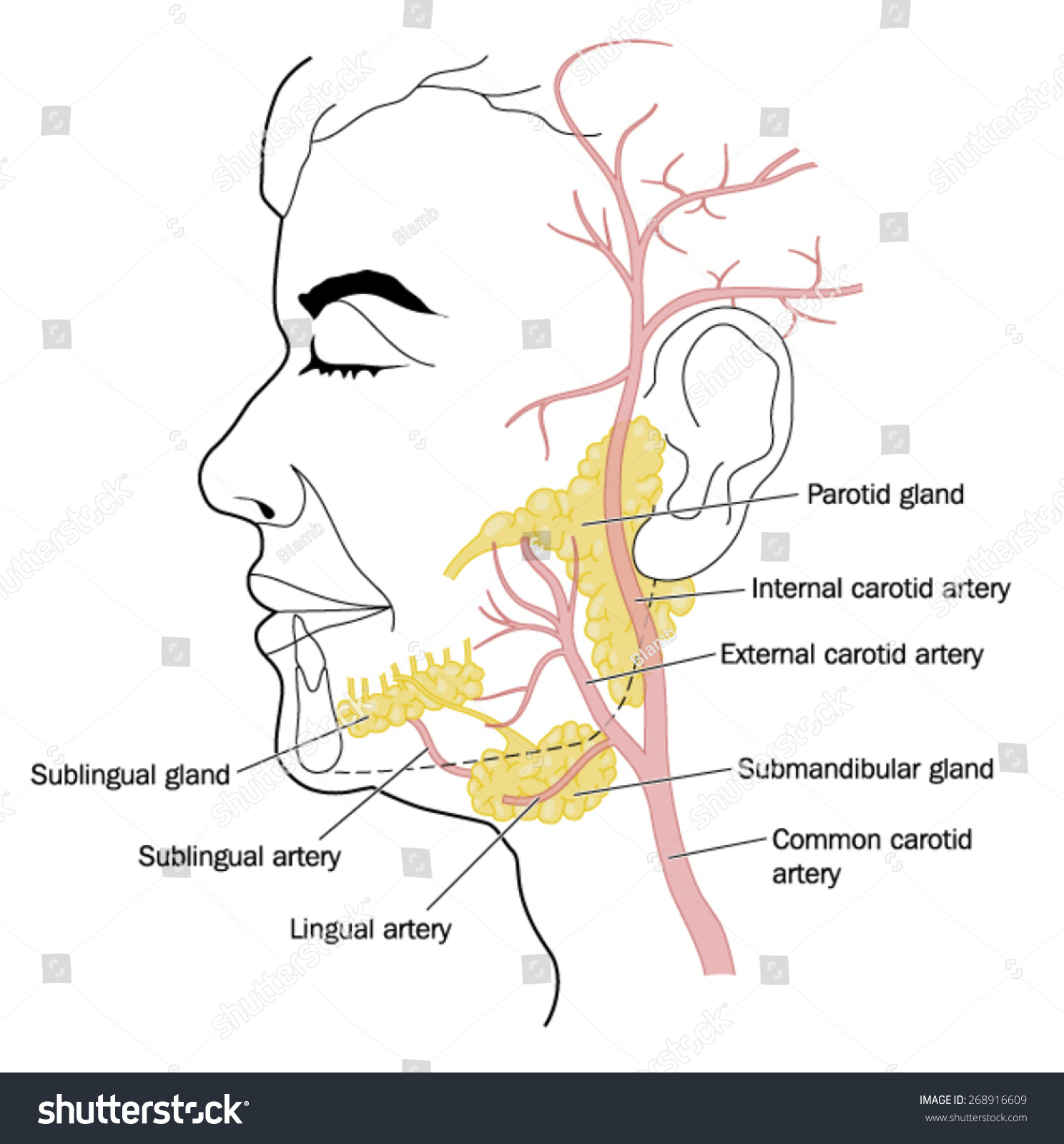 Salivary Glands Blood Vessels Neck Face Stock Vector Royalty Free
