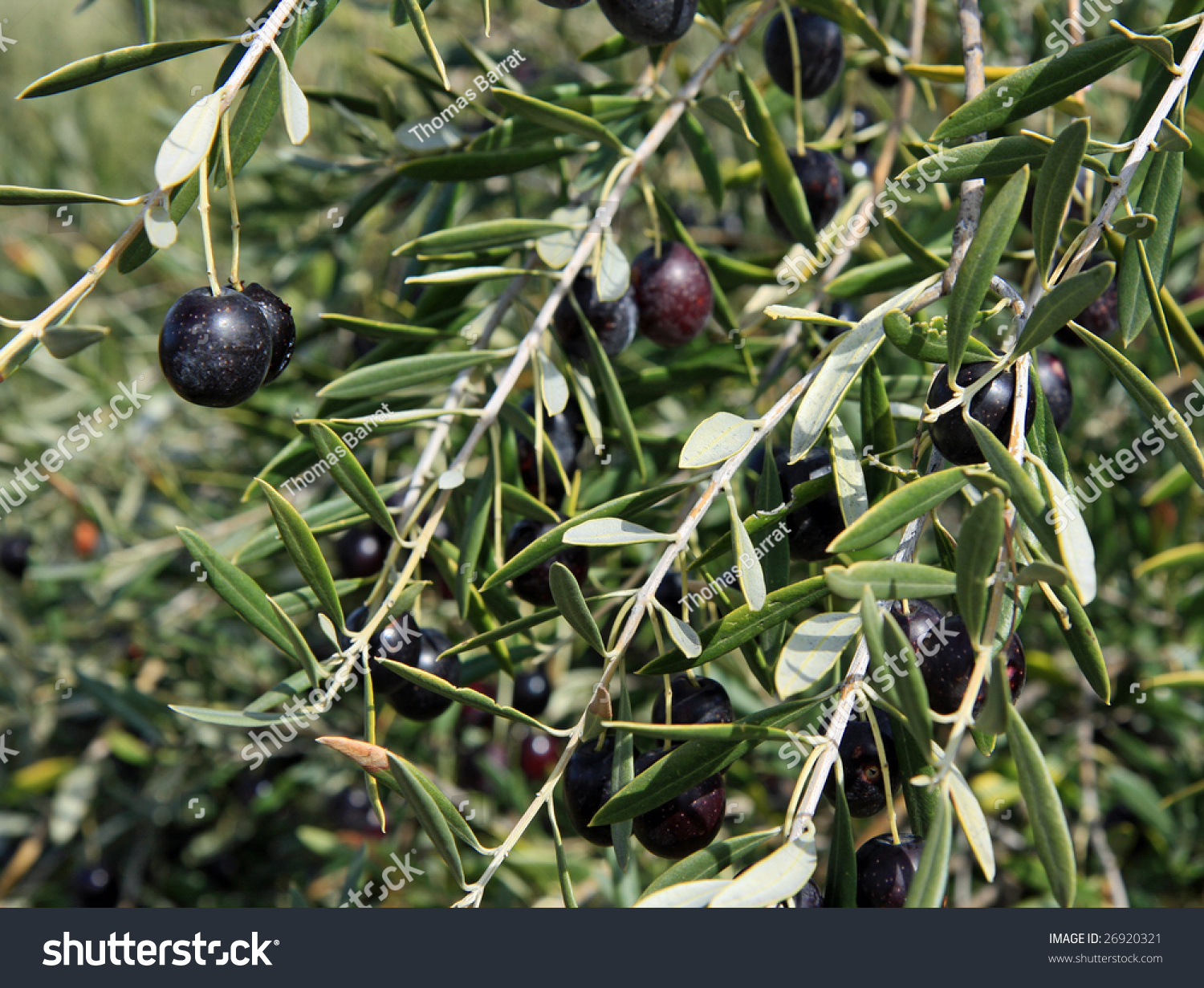 Black Olive Trees Ripening Fruit California Stock Photo Edit Now
