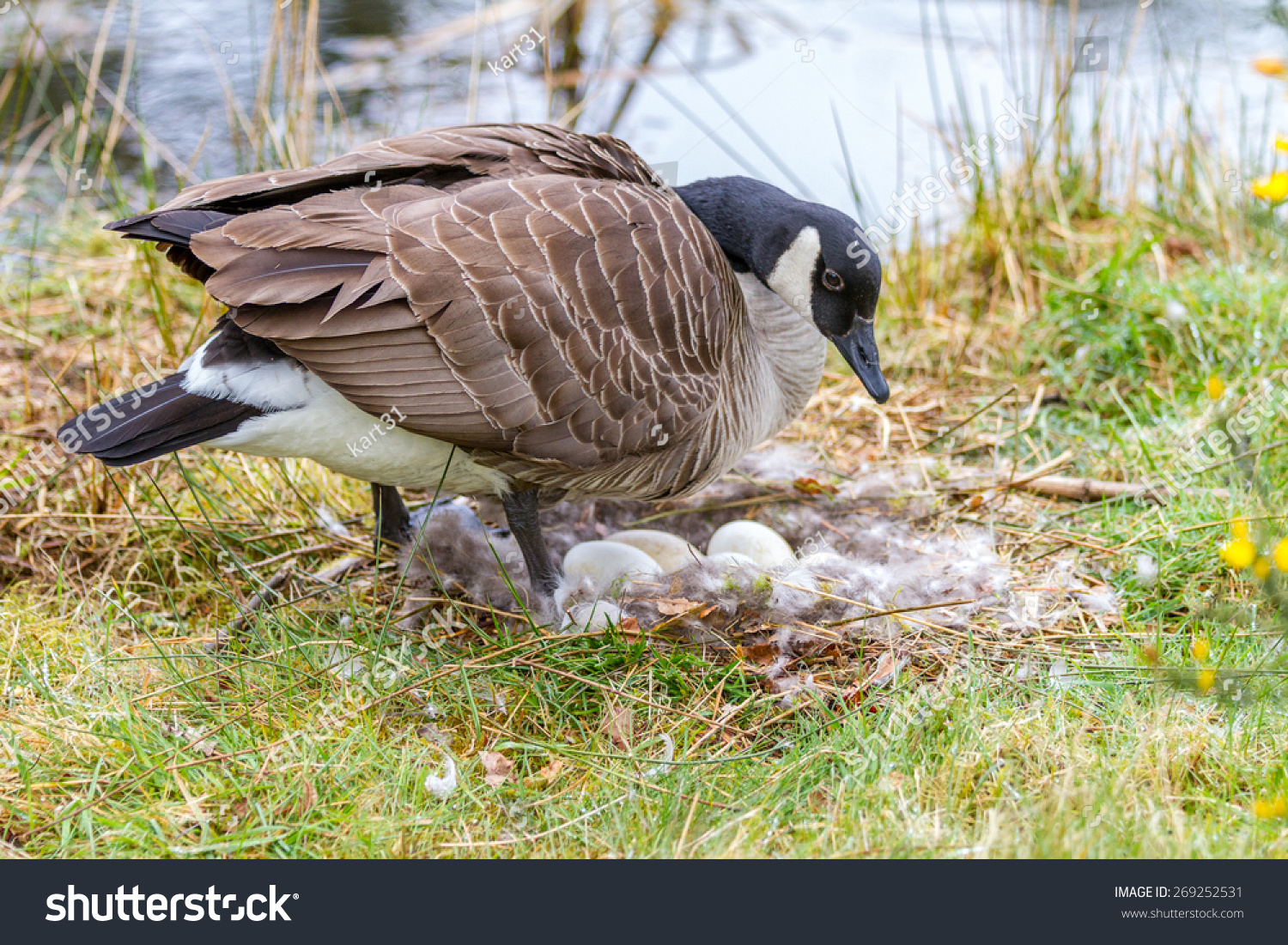 Canada Goose langford parka outlet fake - Mother Canada Goose Sitting On A Nest Incubating Her Eggs Beside ...