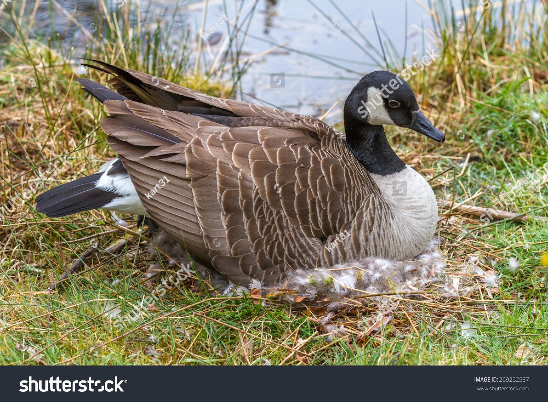 Canada Goose' authentic cuban