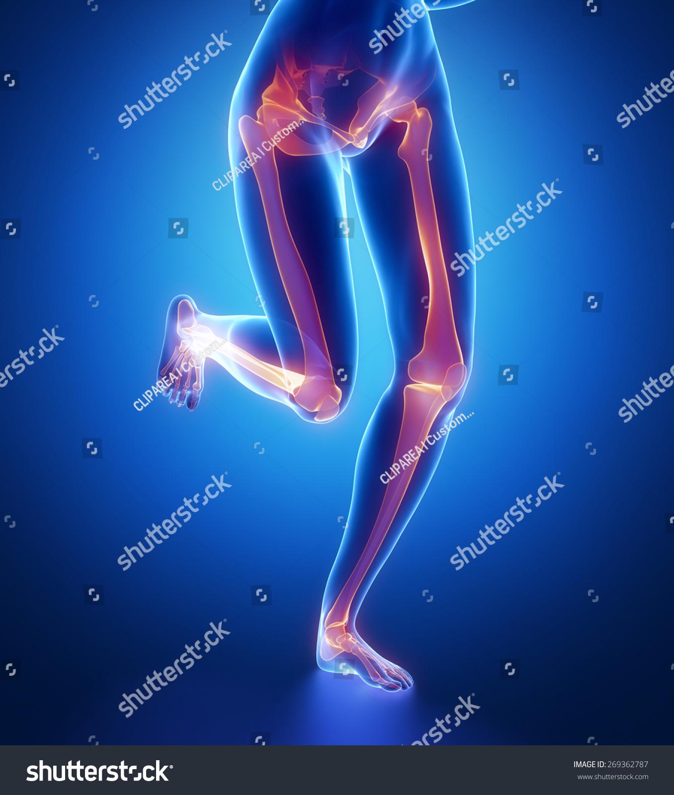 Royalty Free Stock Illustration Of Focused On Leg Bones Anatomy