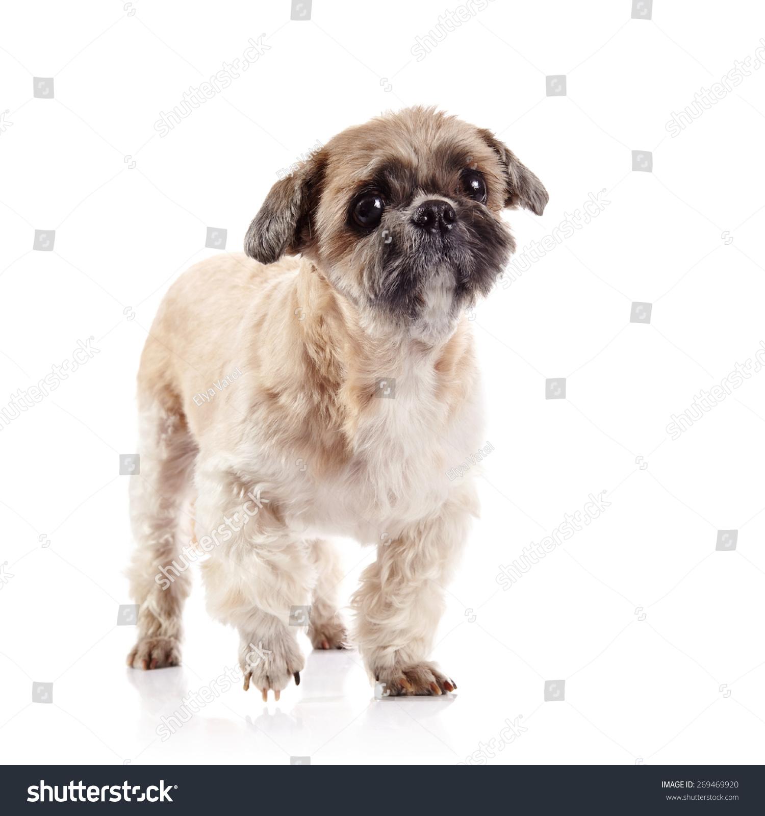 Small Beige Doggie Breed Shihtzu Stock Photo Edit Now 269469920