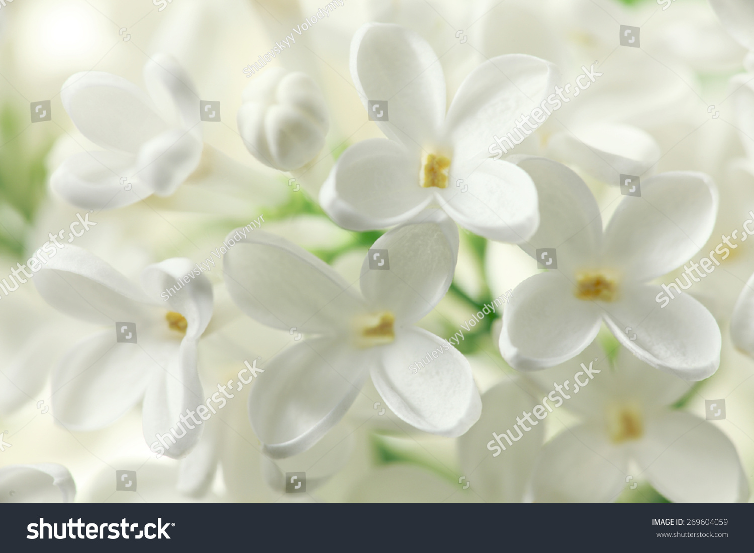 White Lilac Flowers Macro Background Stock Photo 100 Legal