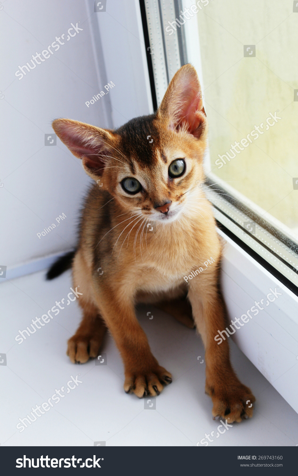 Cute Abyssinian Kitten Big Ears Looking Stock Photo 269743160 ...