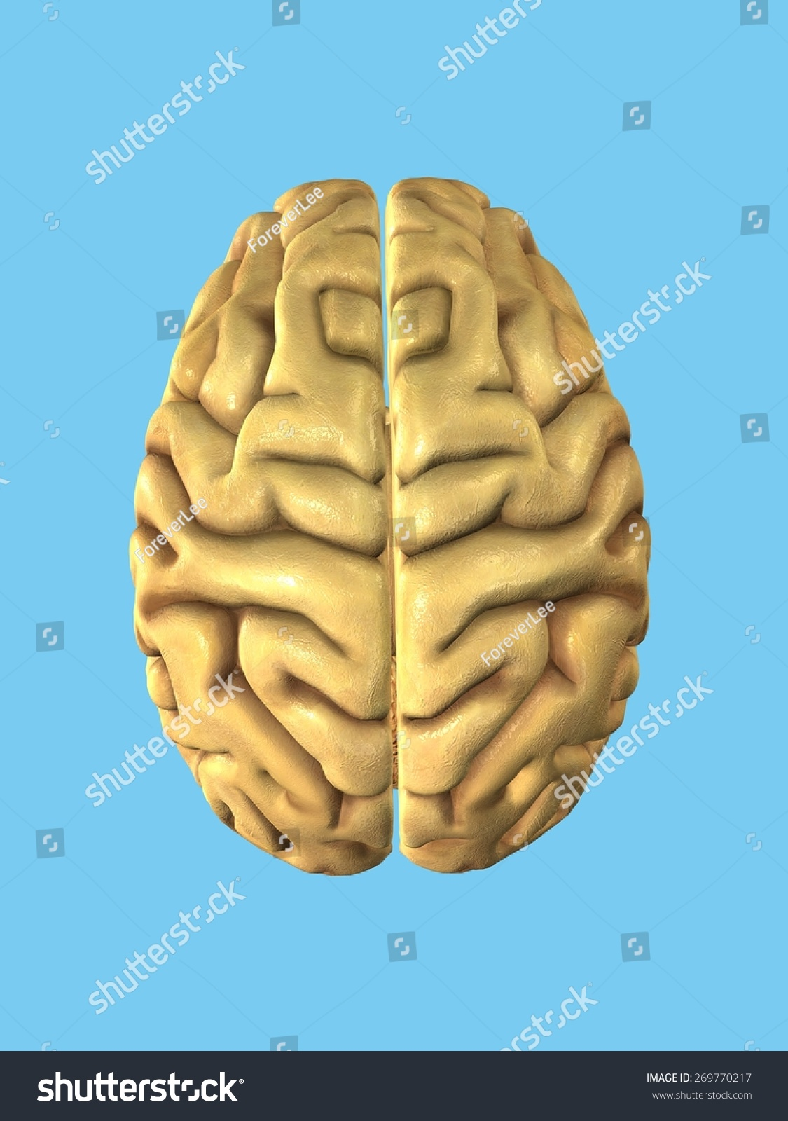 Healthy Brain View Top Featuring Frontal Stock Illustration ...